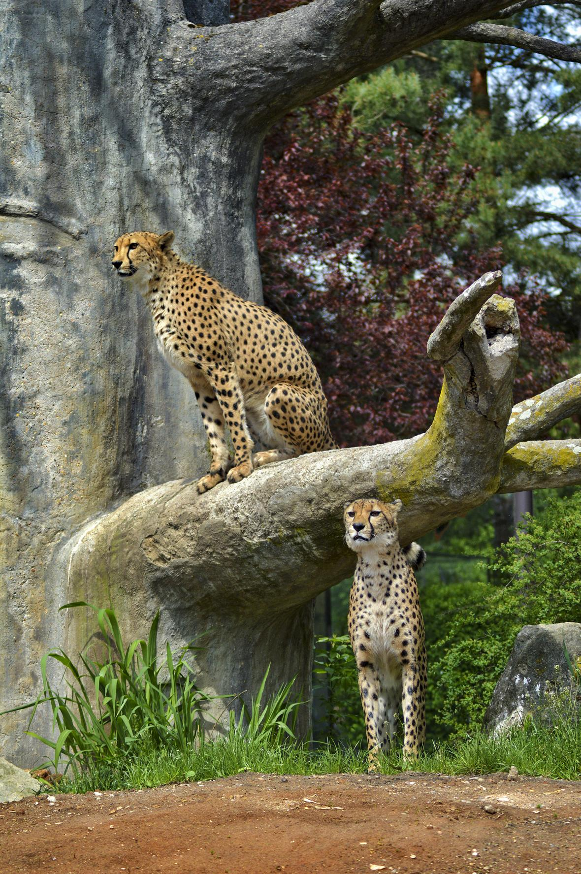 Gepardi štíhlí v novém výběhu