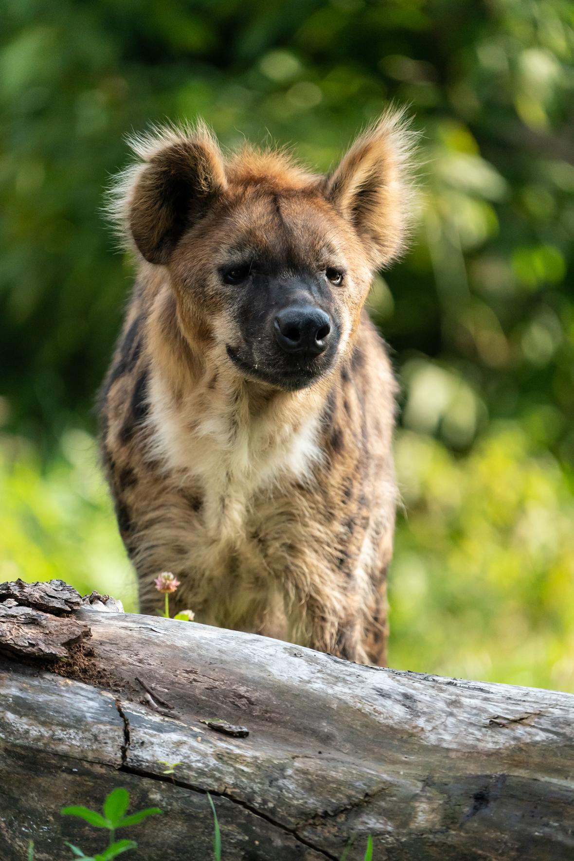 Hyena Spotty