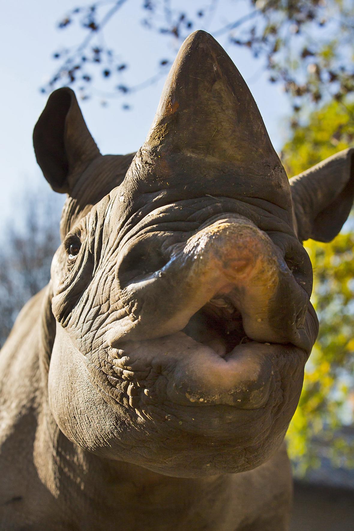 Nosorožec dvourohý východní