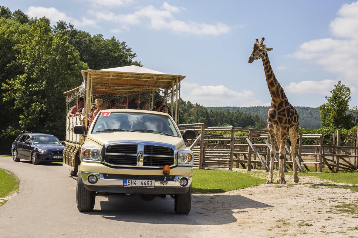 Žirafa Rotschildova pozoruje návštěvníky projíždějící Africkým safari