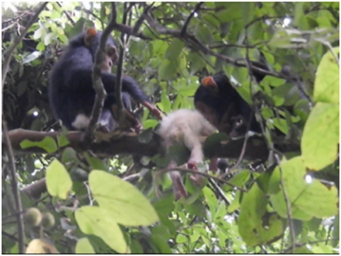 Albínské mládě šimpanze zabité zbytkem tlupy