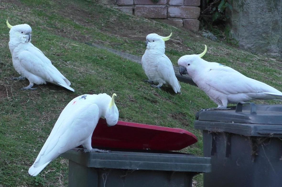 Skupina papoušků kakadu u popelnice
