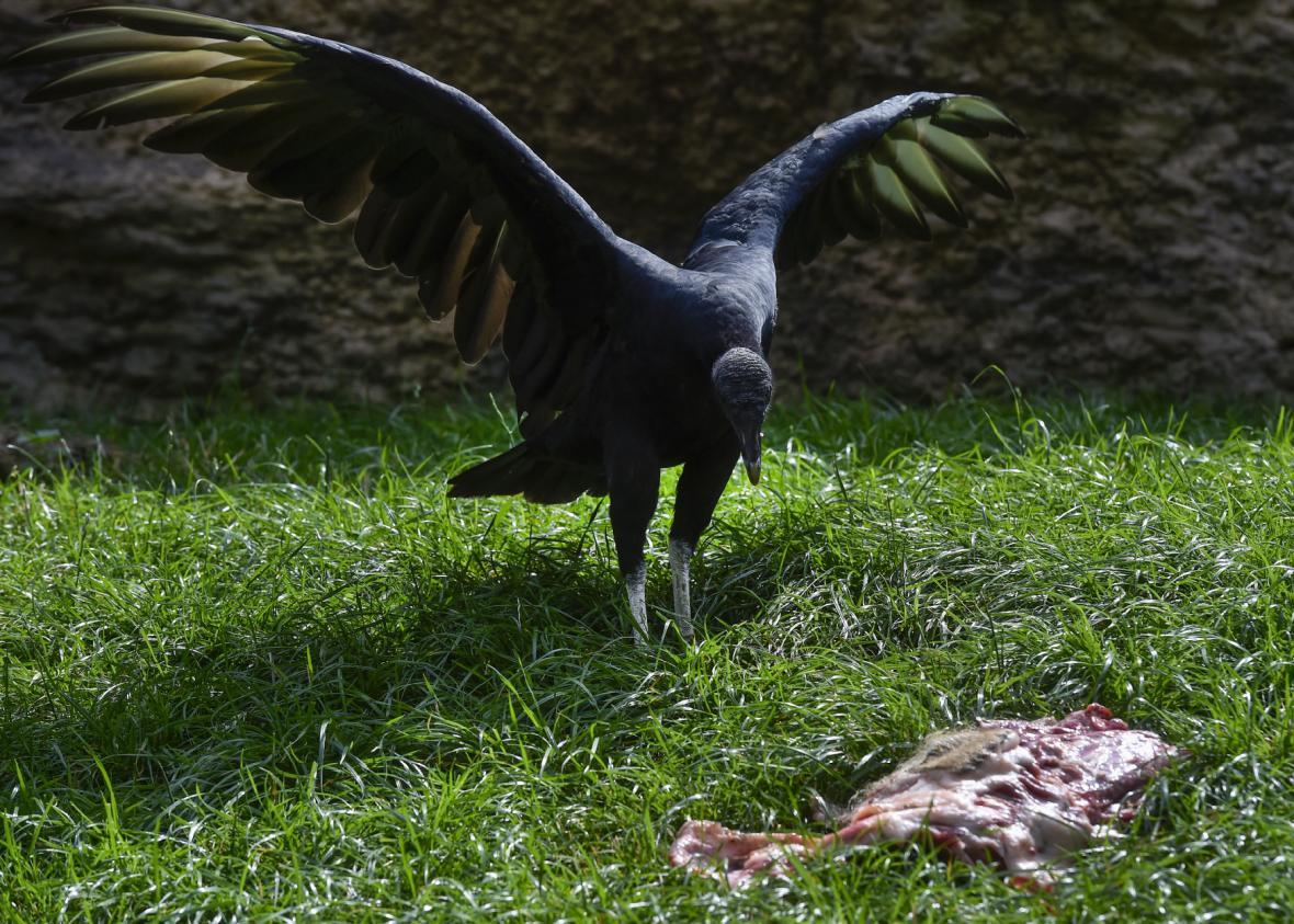 Kondor havranovitý