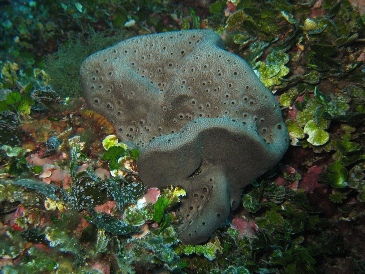 Mořská houba (houbovec) ze Středozemního moře