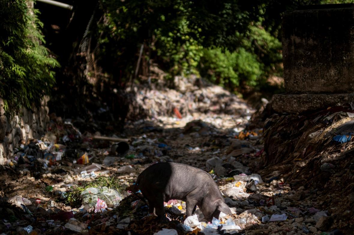 Prase se krmí odpadky ve vyschlém korytě haitské řeky