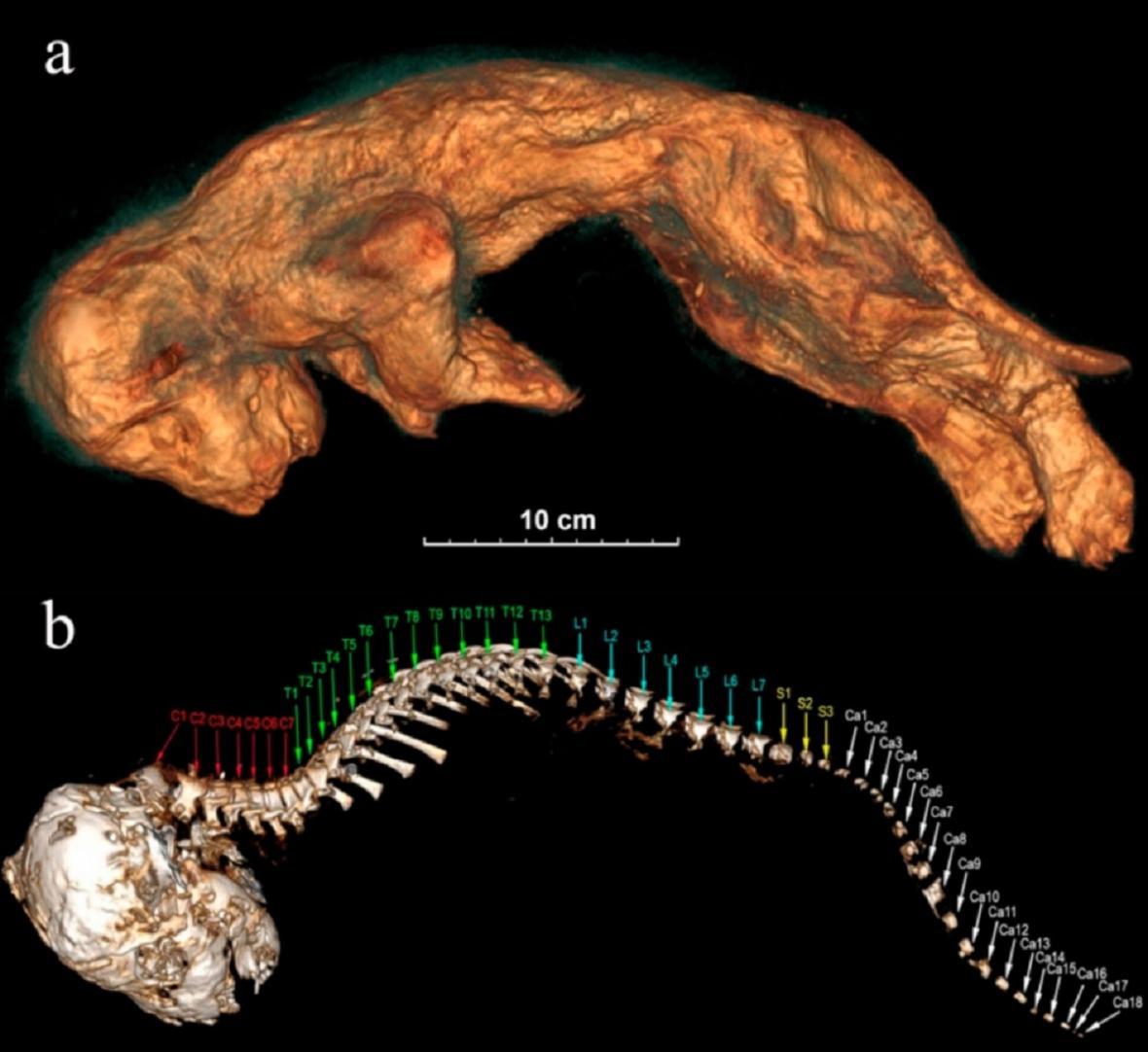 Lvíče zobrazené pomocí tomografie