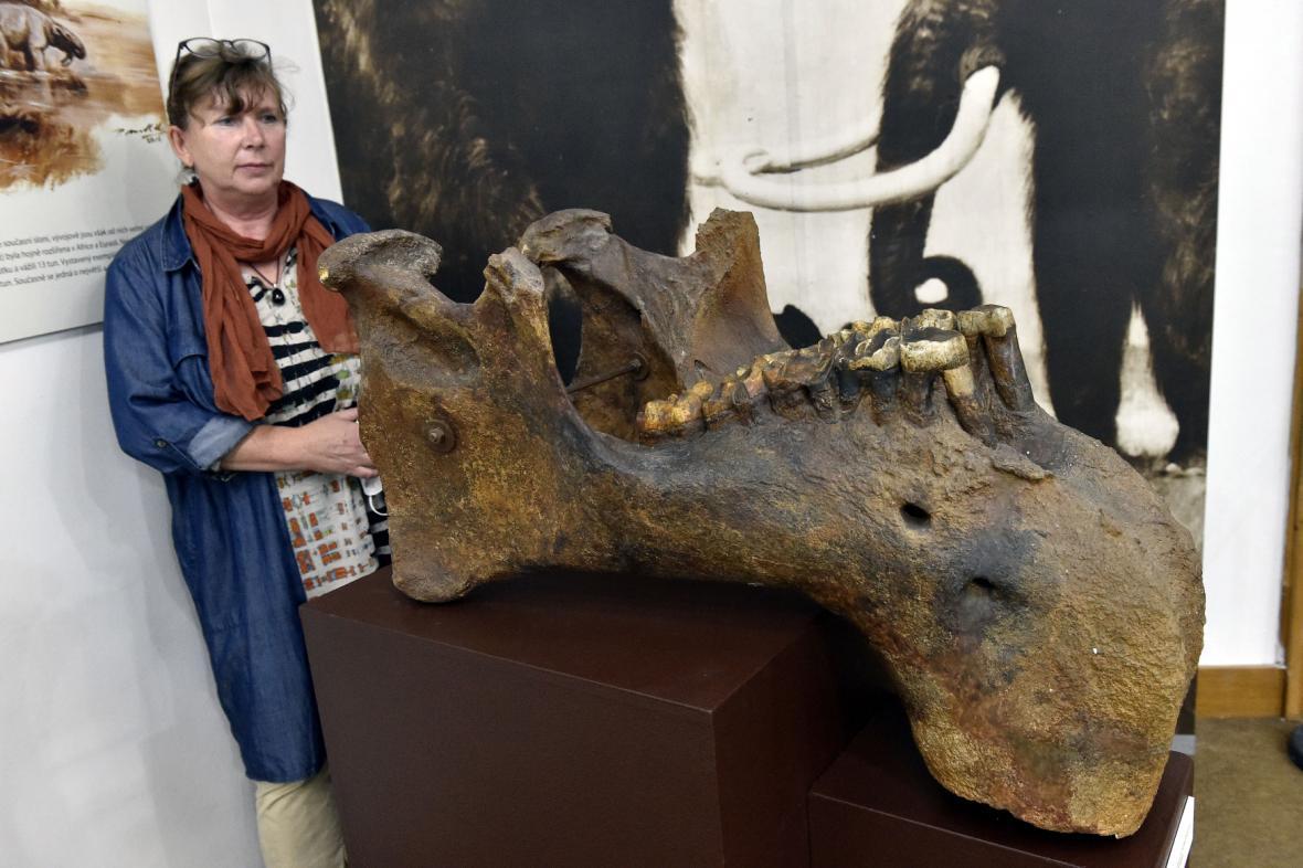 Spodní čelist chobotnatce ve zmodernizované expozici Moravského zemského muzea