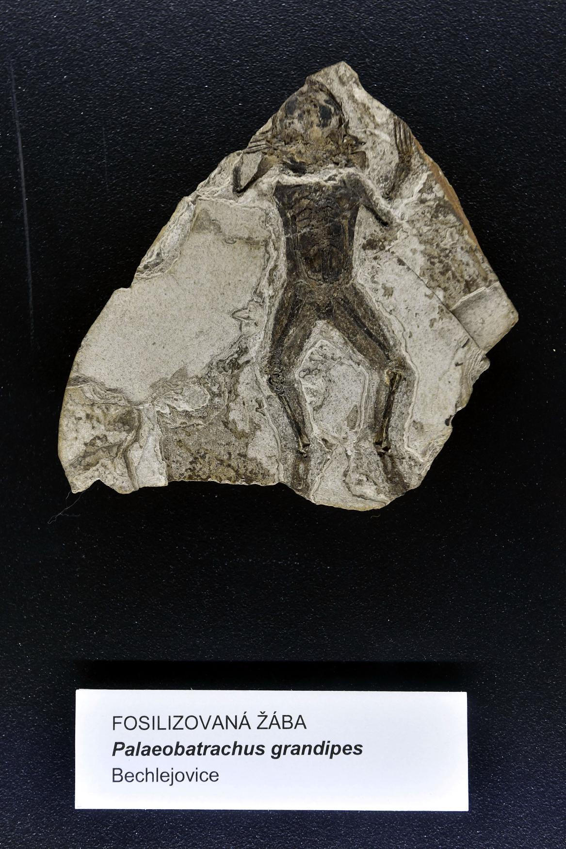 Zkamenělá žába nalezená na Chebsku