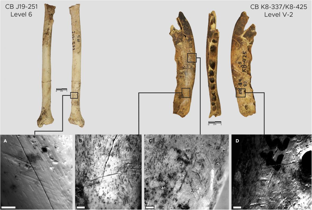 Liščí kosti byly poškozené tak. že to odpovídá situaci, kdy by z nich byla stahována kůže