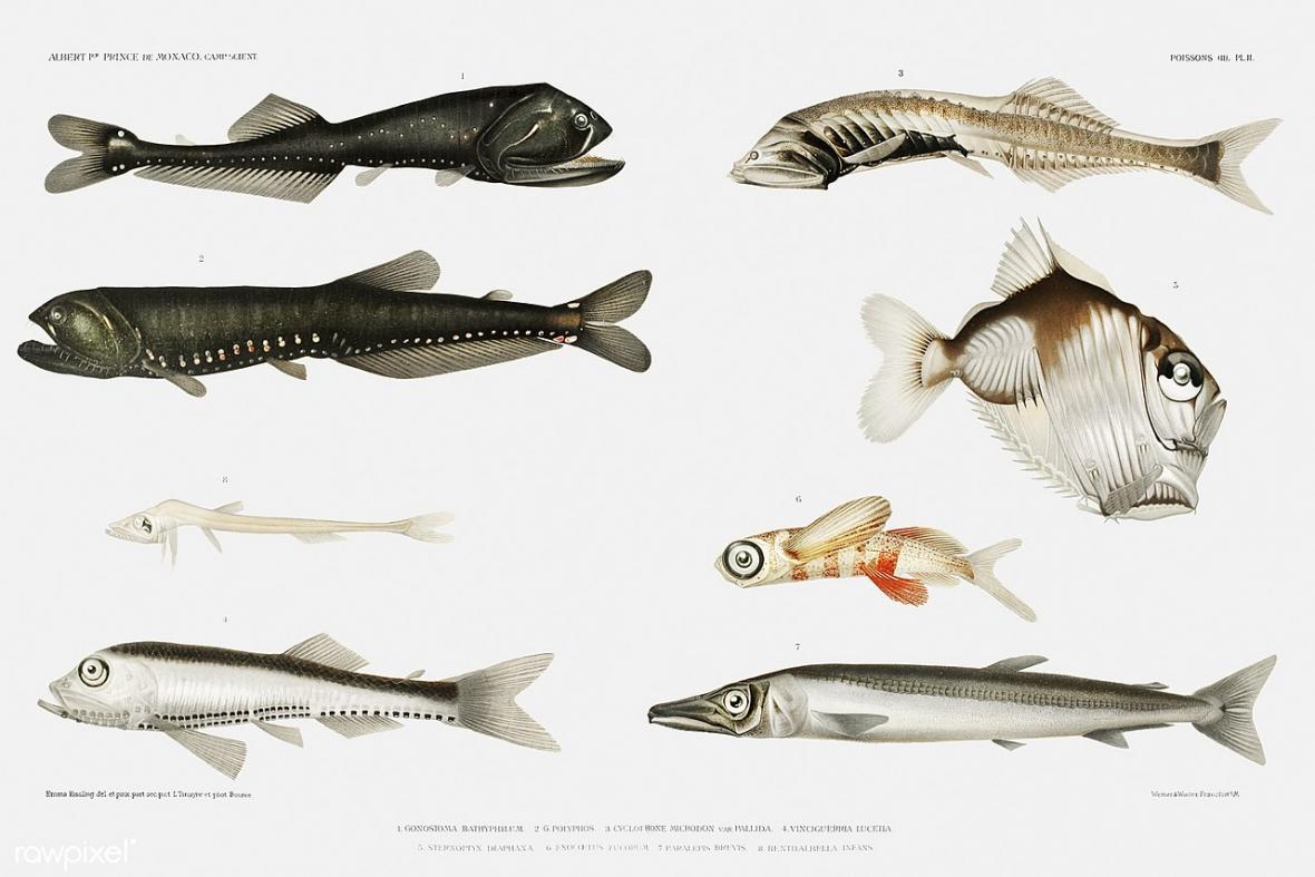 Různé druhy hlubokomořských ryb, stříbroočka teplomilná je úplně vpravo dole