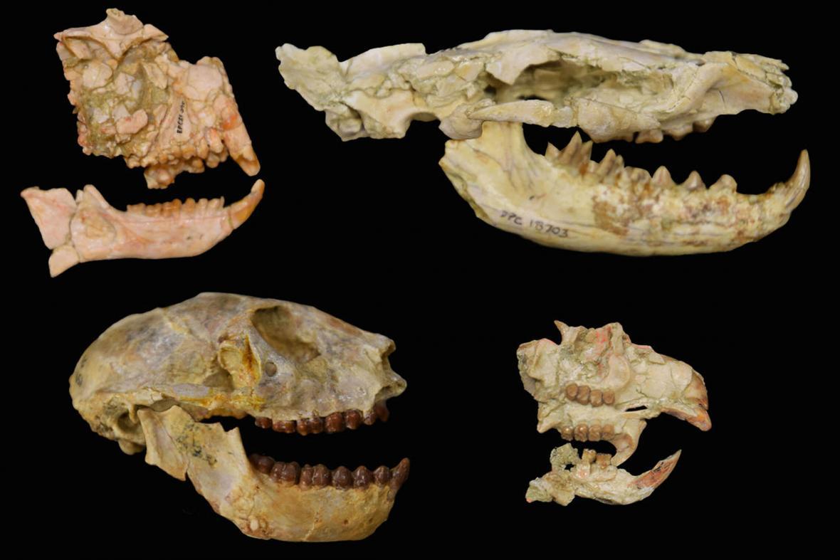Lebky pravěkých zvířat zkoumaných ve studii