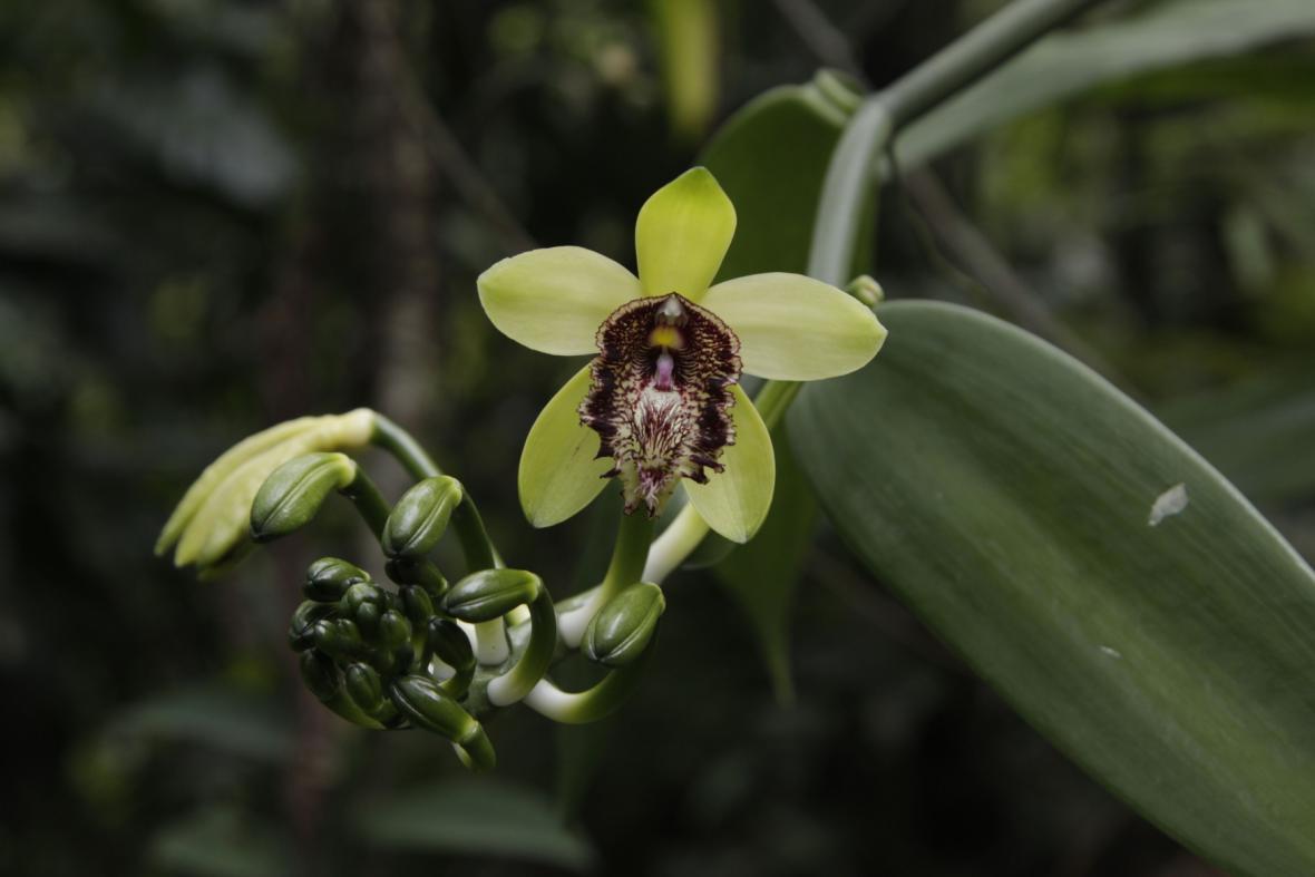 Nový druh vanilky objevili čeští botanici ve vietnamské džungli