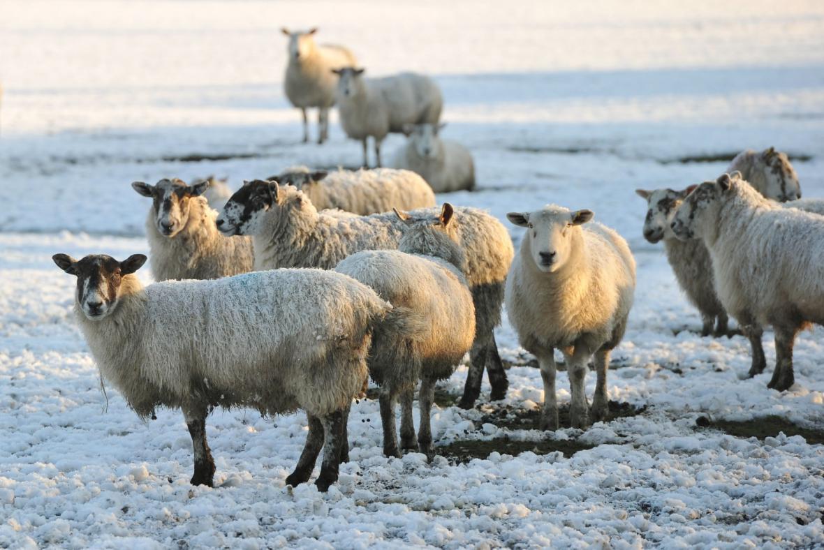 Pasoucí se stádo ovcí v anglickém Hattonu