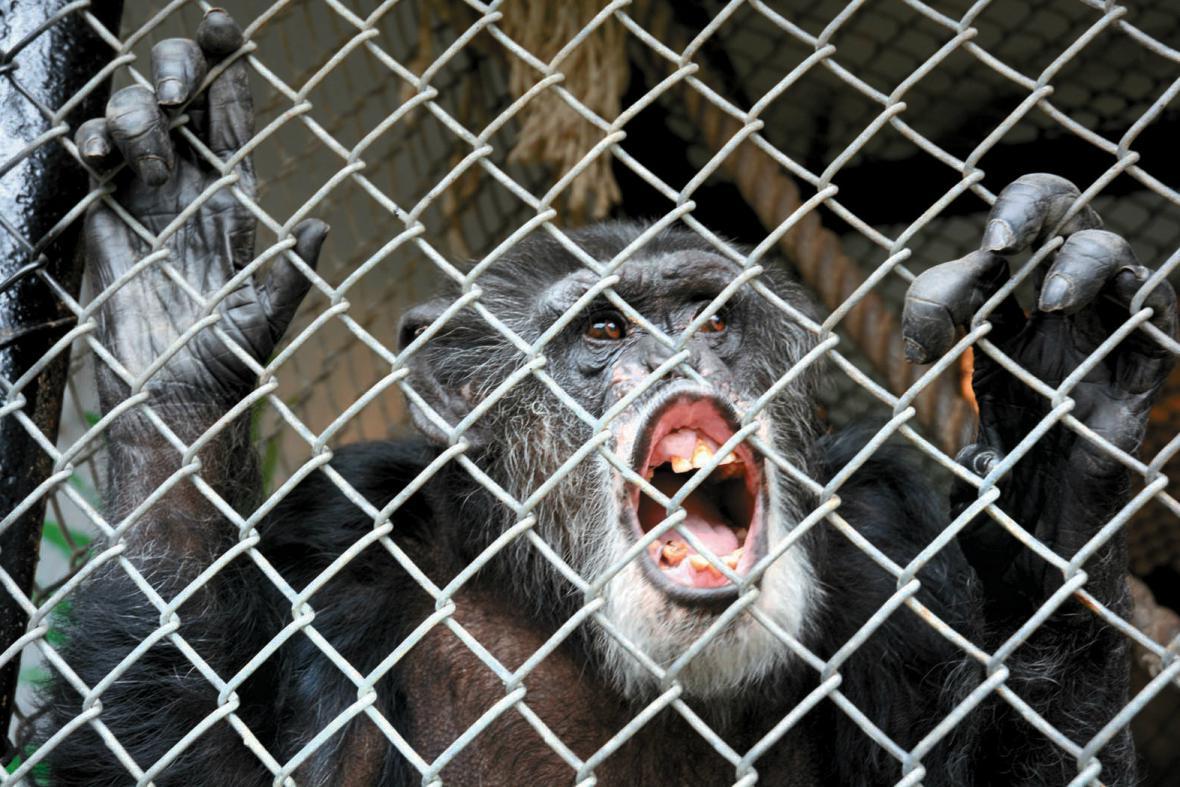 Šimpanz Tommy