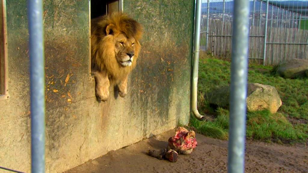Lev v táborské zoo