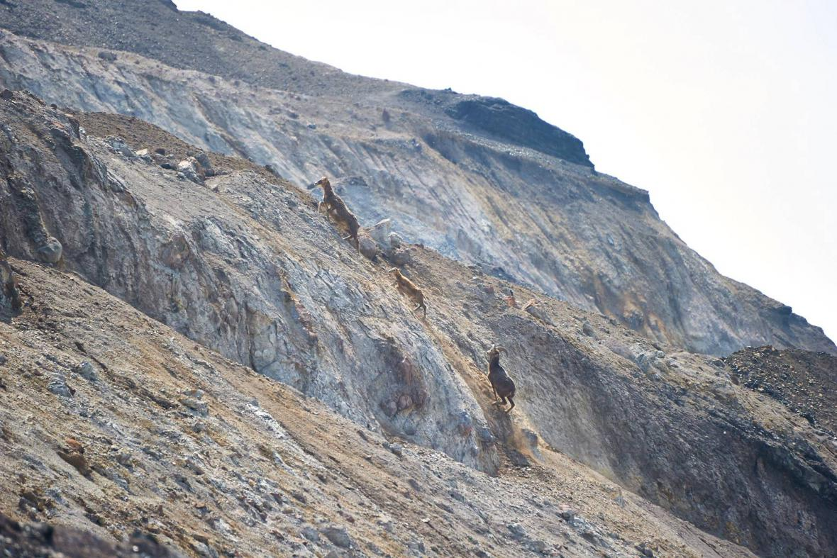 Mufloni v uhelném dole