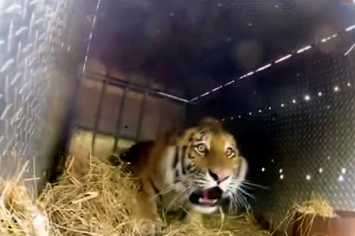Vypouštění vzácného tygra do přírody za asistence Vladimira Putina