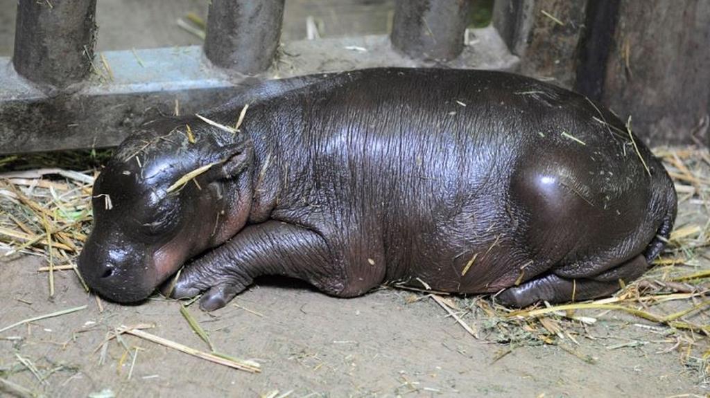 Plzeňské mládě hrošíka liberijského