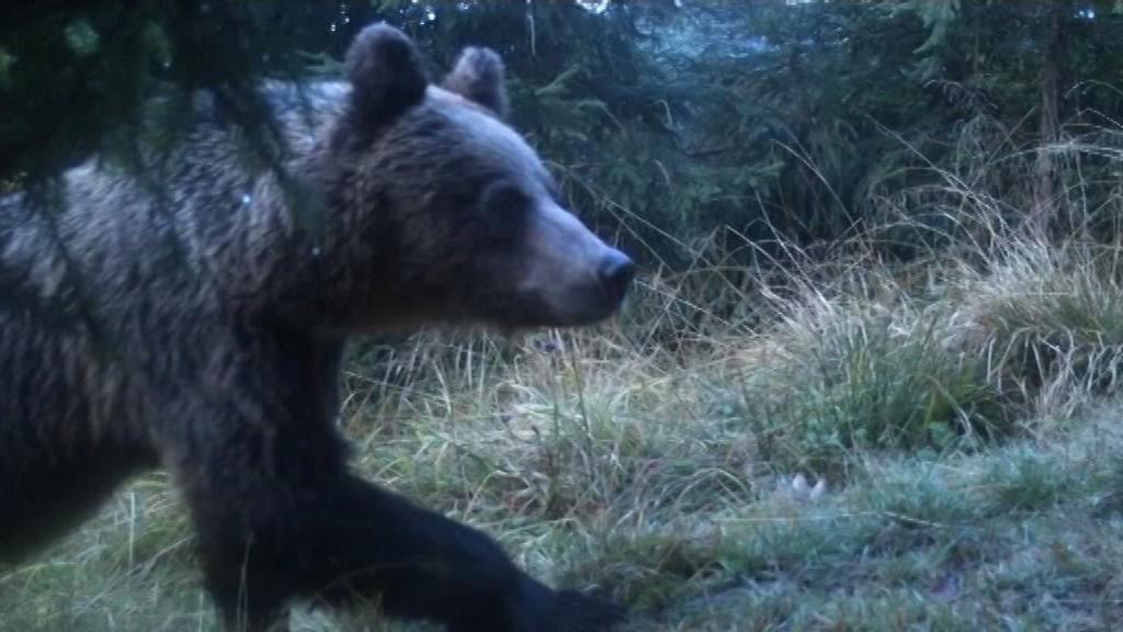 V Beskydech přibylo medvědů