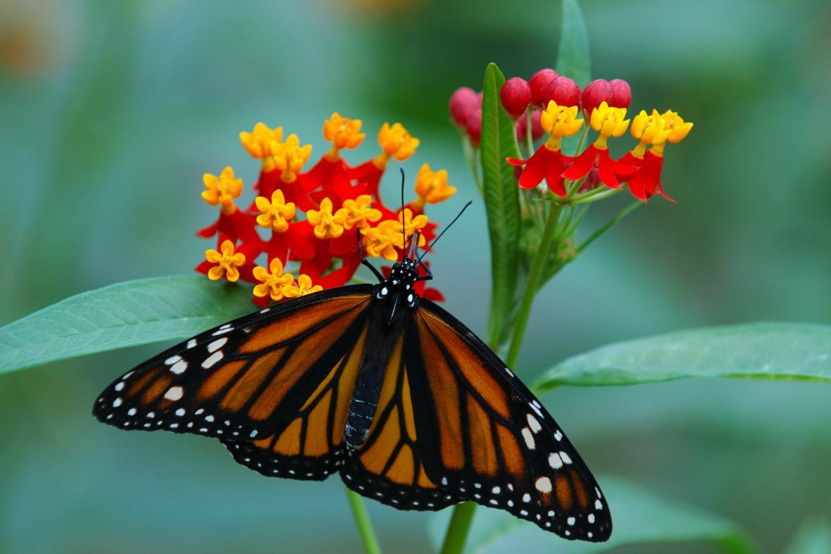 Motýl monarcha