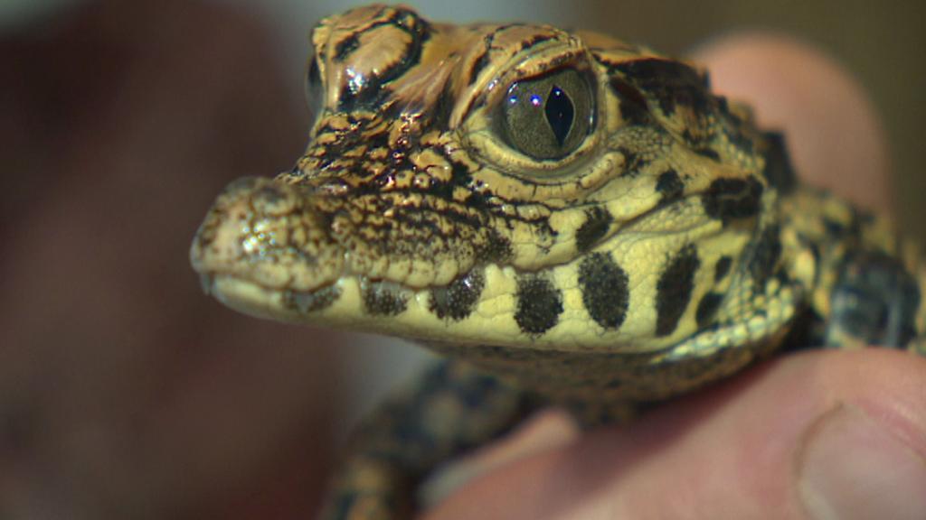 Krokodýl čelnatý v Zoo Plzeň