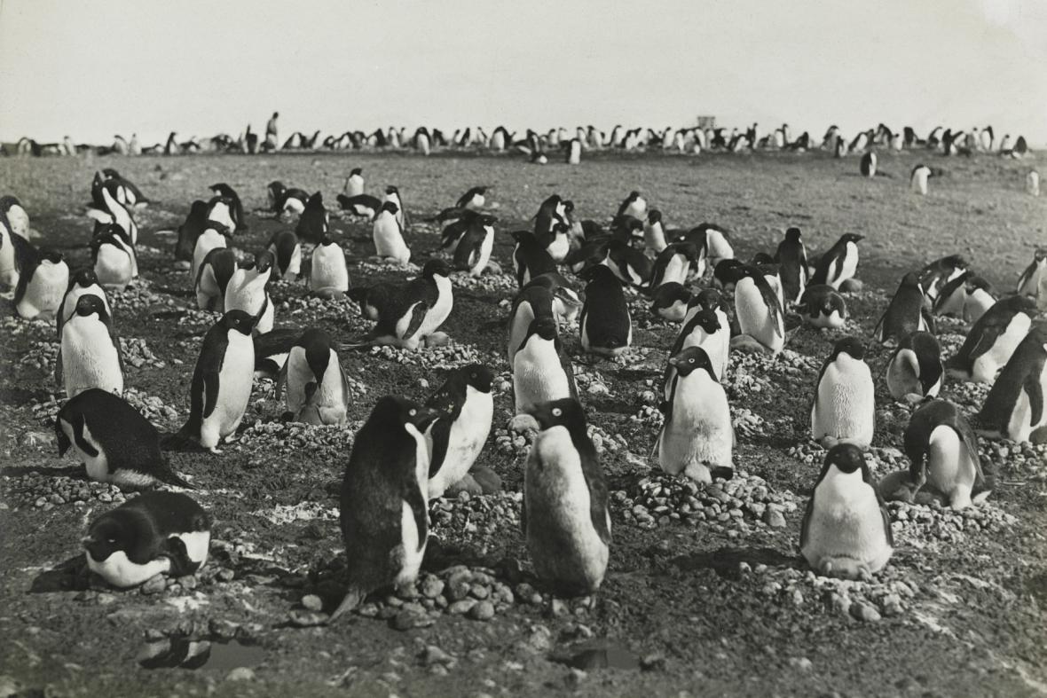 Fotografie tučňáků pořízené Levickem v Antakrtidě