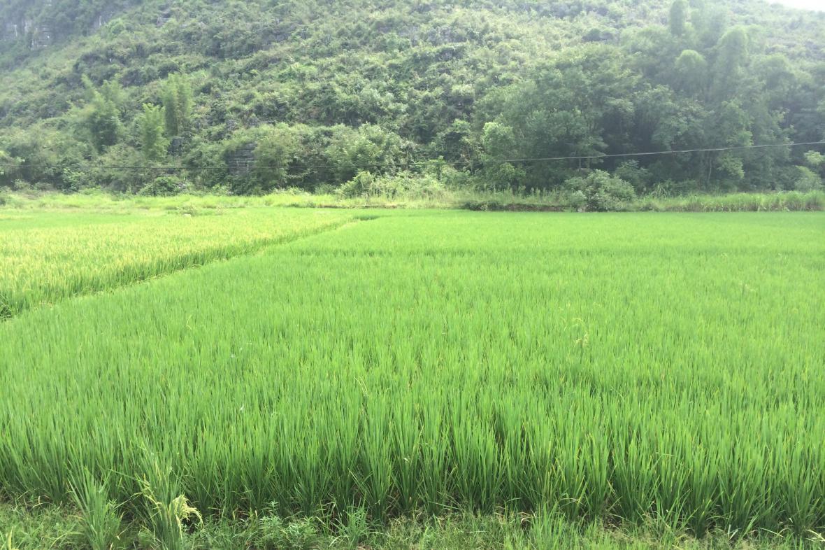 Rýžová pole v oblasti Kchuej-linu