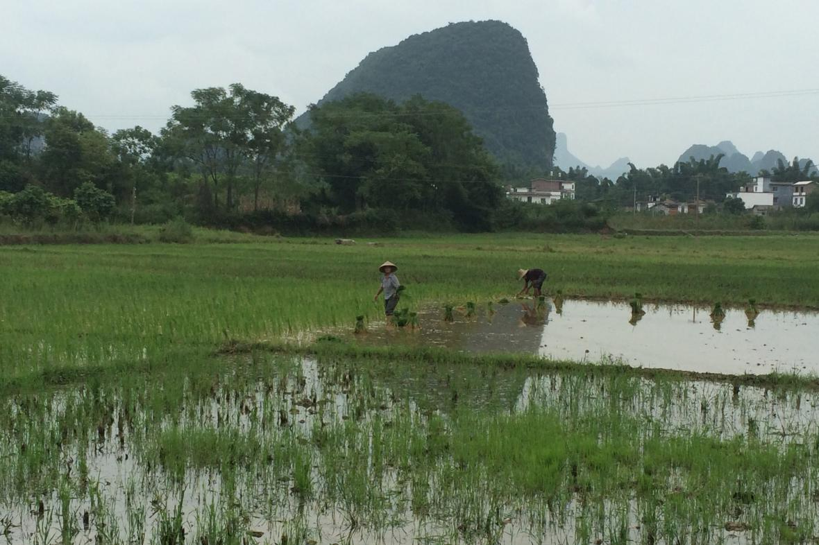 Obdělávání rýžových polí je tradiční prací čínského rolníka