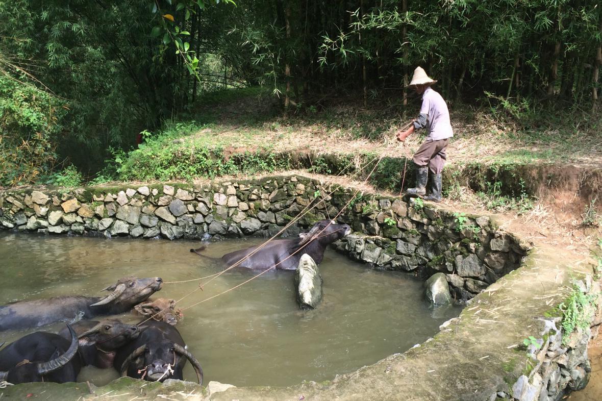Vodní buvoli zůstávají základním pomocníkem čínského rolníka