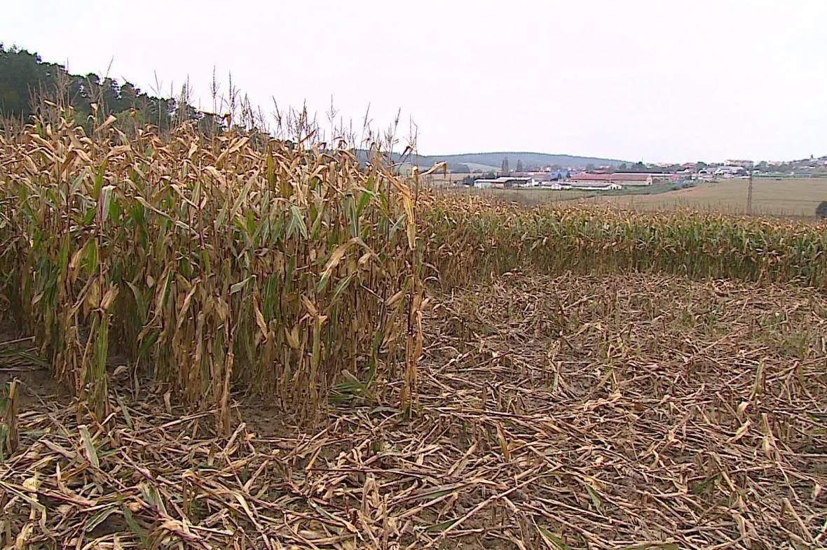 Pole s kukuřicí
