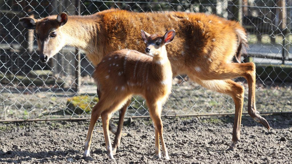 Západoafrické antilopy sitatunga