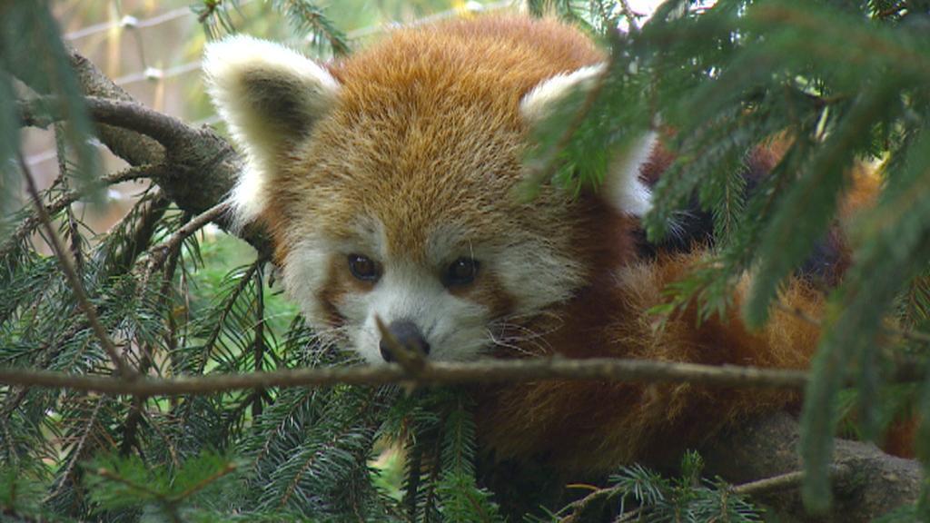 Matka dvojčat pandy červené