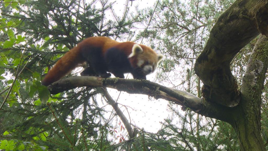 Otec pandích dvojčat - Pantalaimon