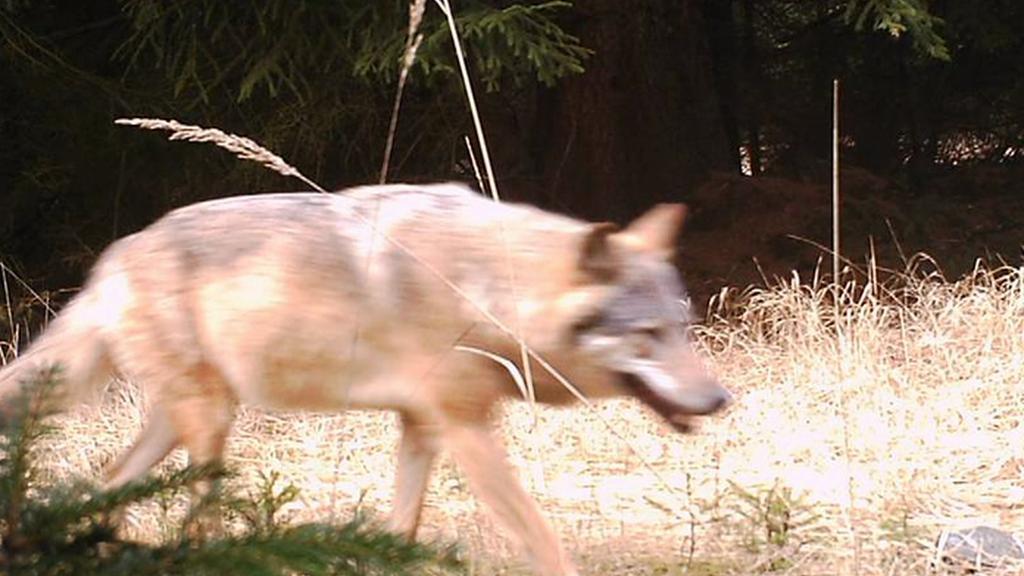 Fotopasti zachytily na Kokořínsku vlka
