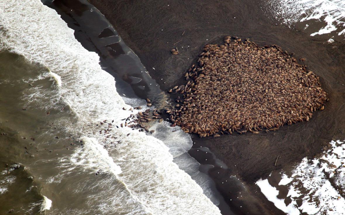 Desítky tisíc mrožů na jediné pláži