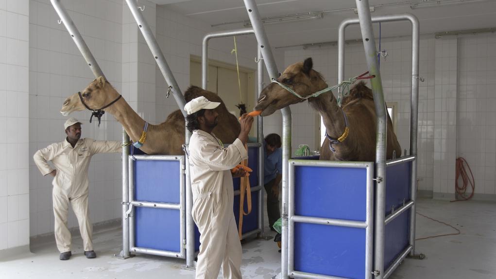 Velbloudí farma v Dubaji