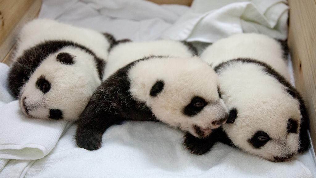 První přeživší pandí trojčata