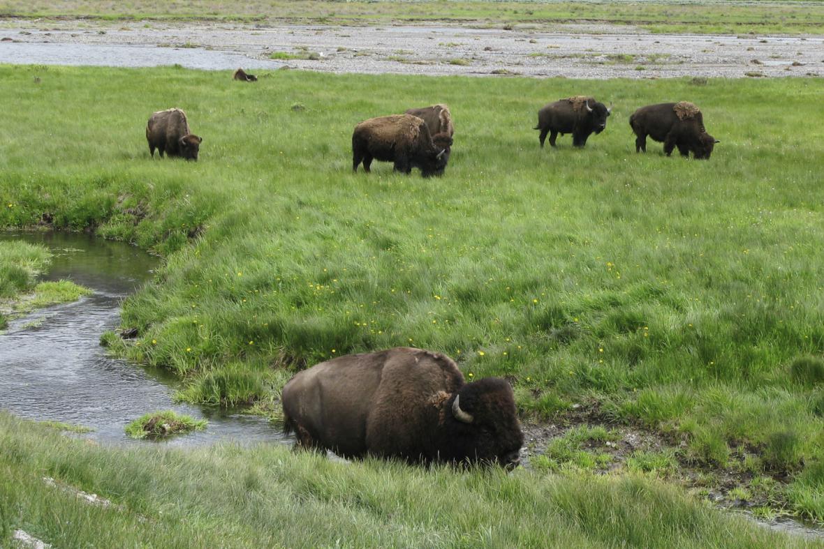 Bizoni v Yellowstoneském parku