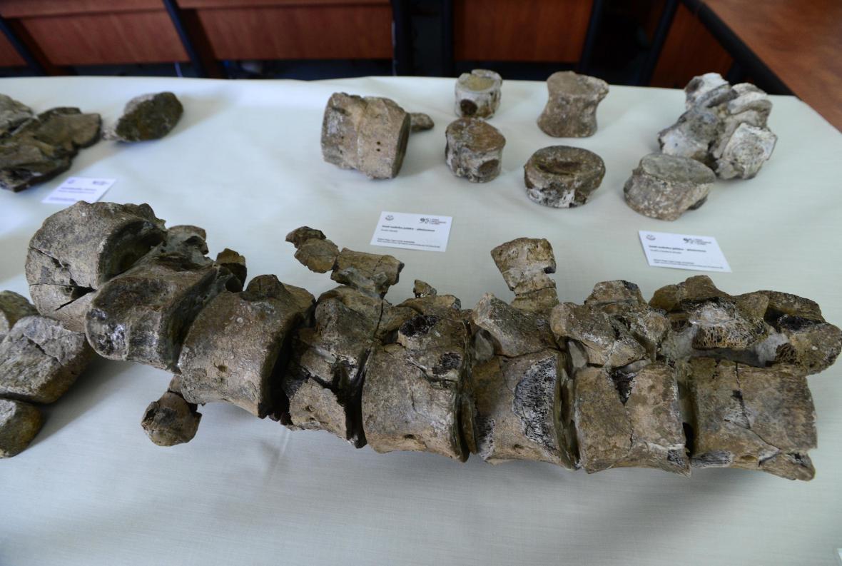 Část kostry plesiosaura