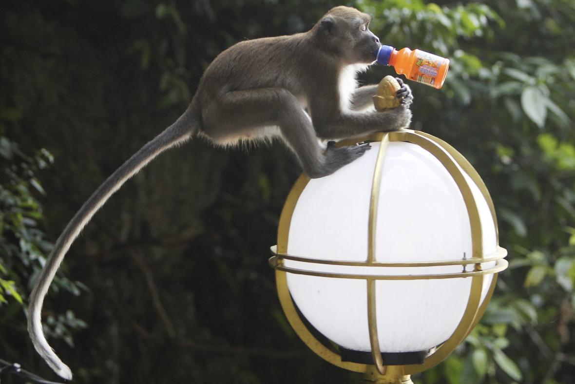 Makakové v Indii