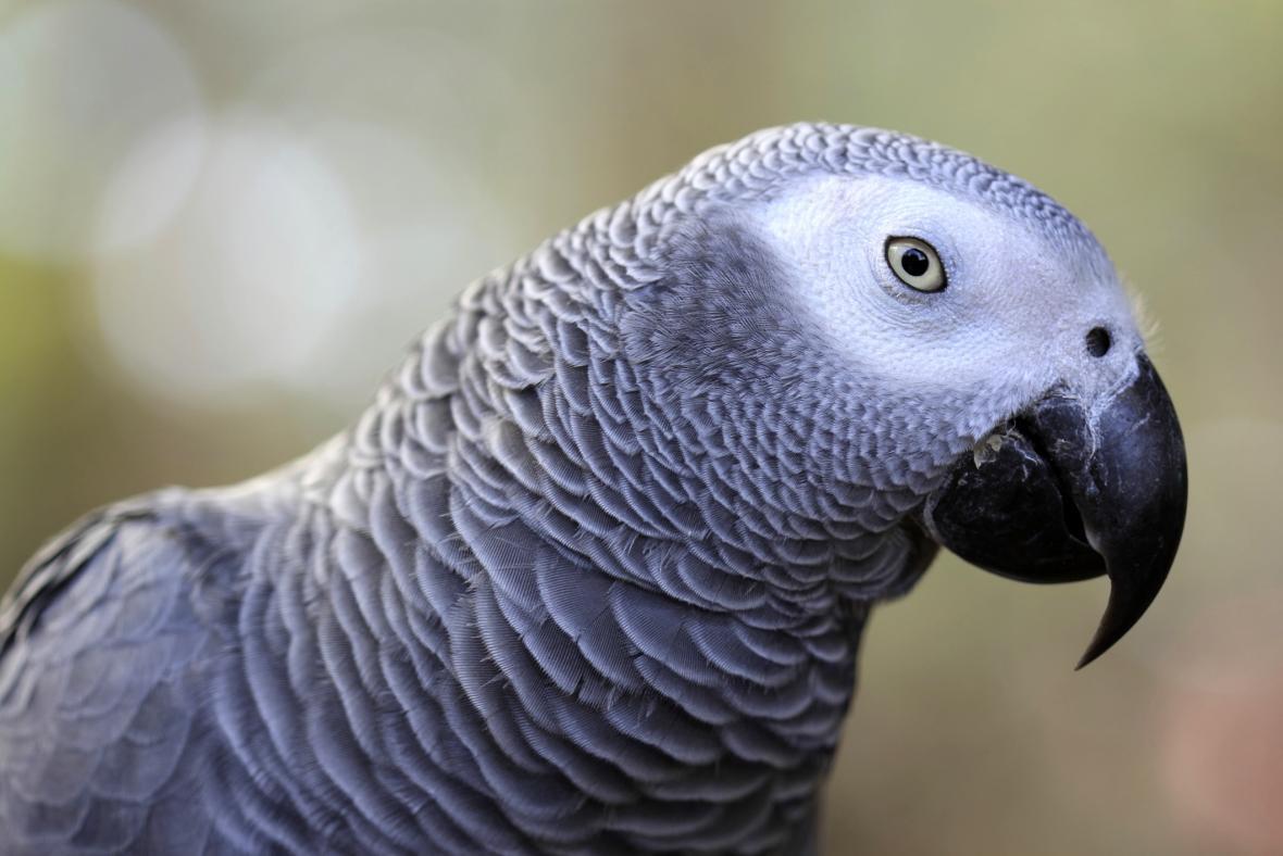 Papoušek šedý -