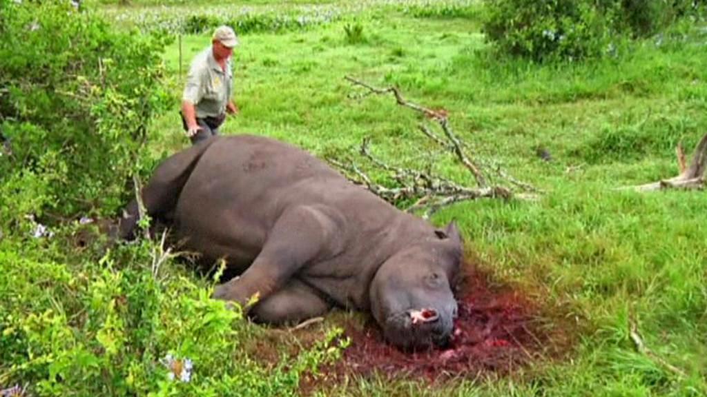 Nosorožec zabitý pytláky