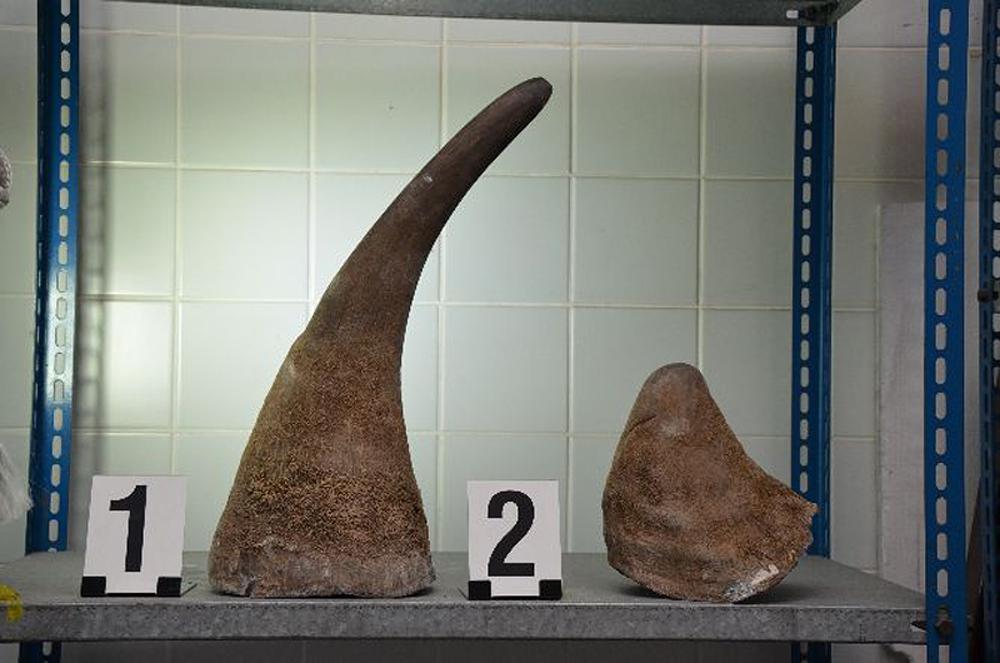 Zabavené rohy nosorožce tuponosého