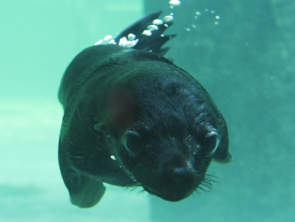 Pražská zoo poprvé vypustila do expozice lachtaní mládě