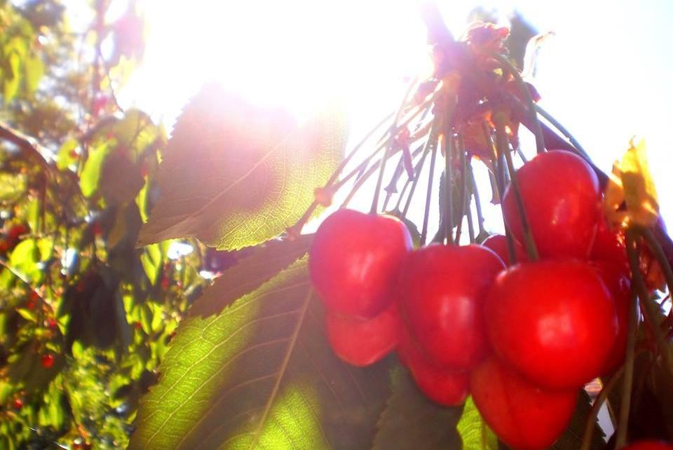 I třešně z Litobratřic přispěly k radosti z hezkého dne