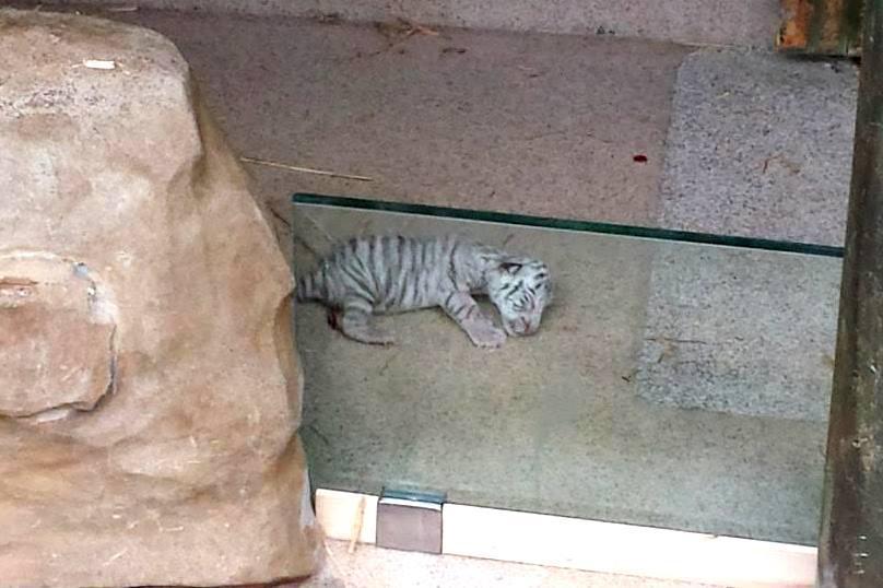 Právě narozené mládě bílého tygra