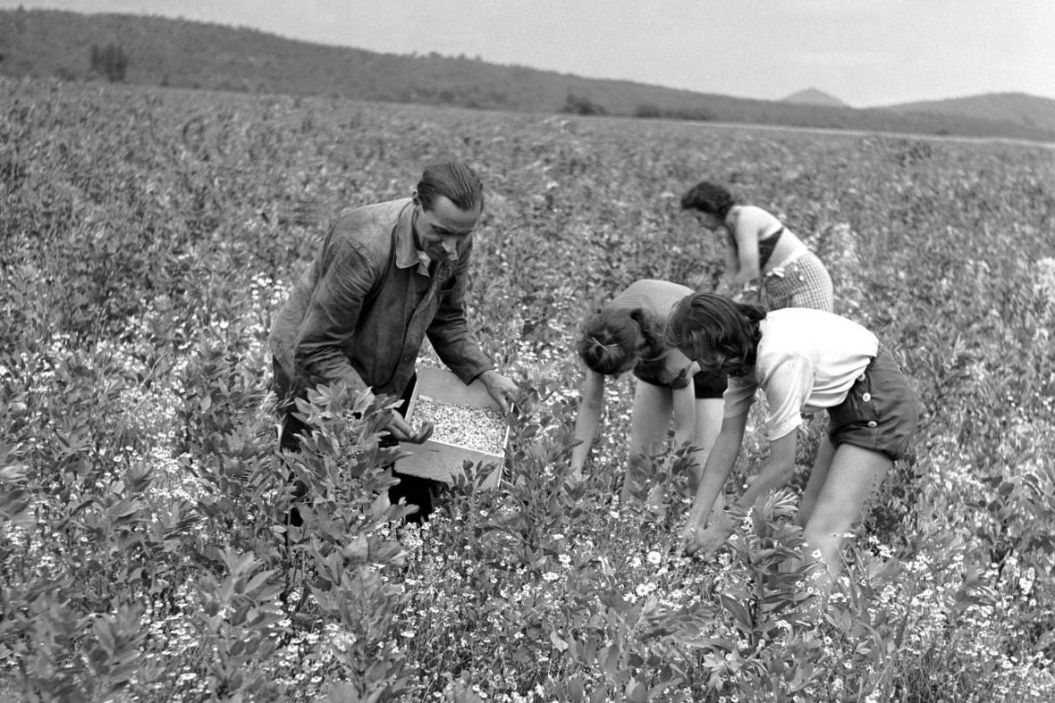 Sběr heřmánku (1950)