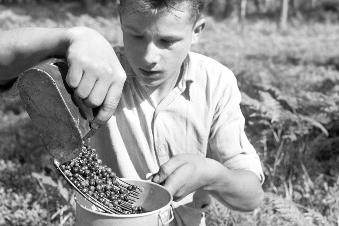 Sběr borůvek (1950)