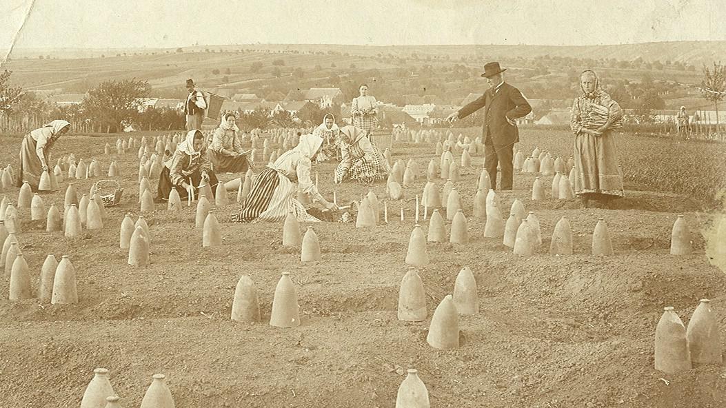Historický snímek chřestové plantáže