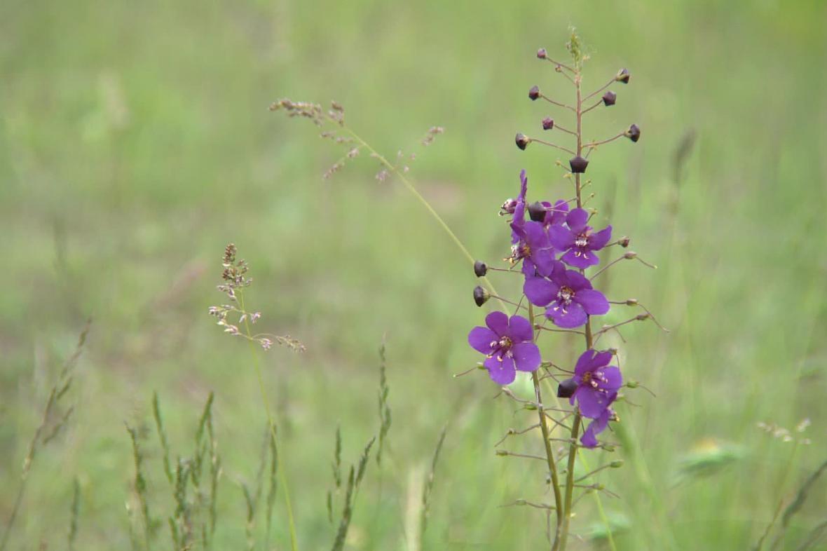 Biotop na Načeratickém kopci je unikátní